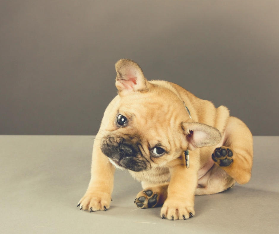 Relieve Itching in Puppies