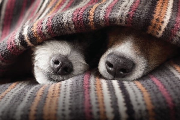 Two Dogs Under Blanket