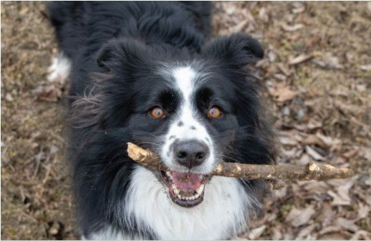Dog With Branch