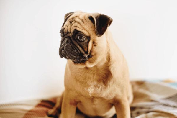A pug sits calmly on blankets