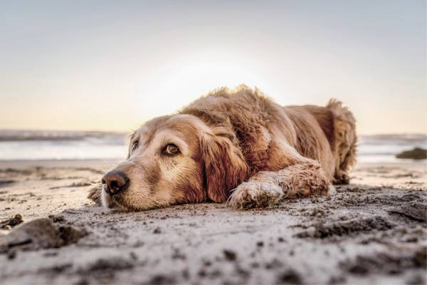 A tired looking dog is lying on the beach with the waves visible in the background