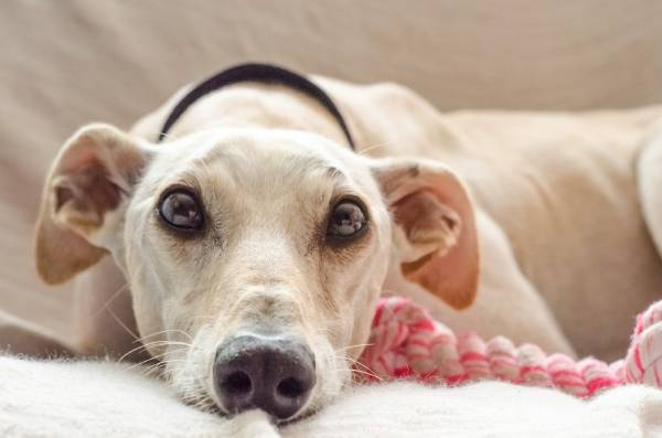 A dog with a sweet face and big brown eyes is resting on a couch with a toy next to them