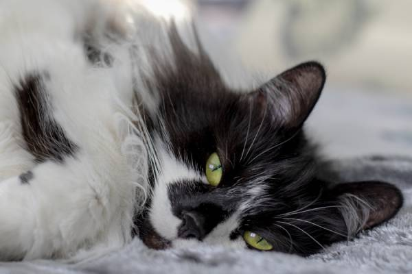 A fluffy black and white cat with green eyes is lying on a soft blanket