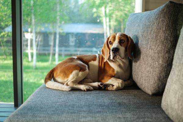 A brown and white dog is resting on a grey couch next to a large window that looks out to a yard