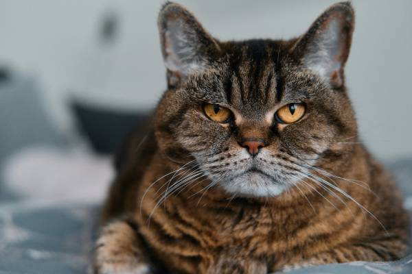 A brown tabby cat with orange eyes stares into the camera